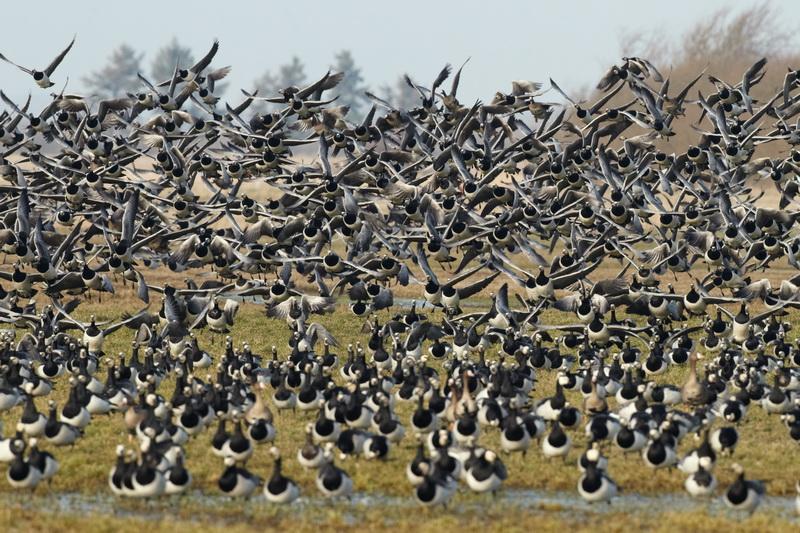 Barnacle Goose / Bramgås, CR6F3868, 06-03-2014.jpg
