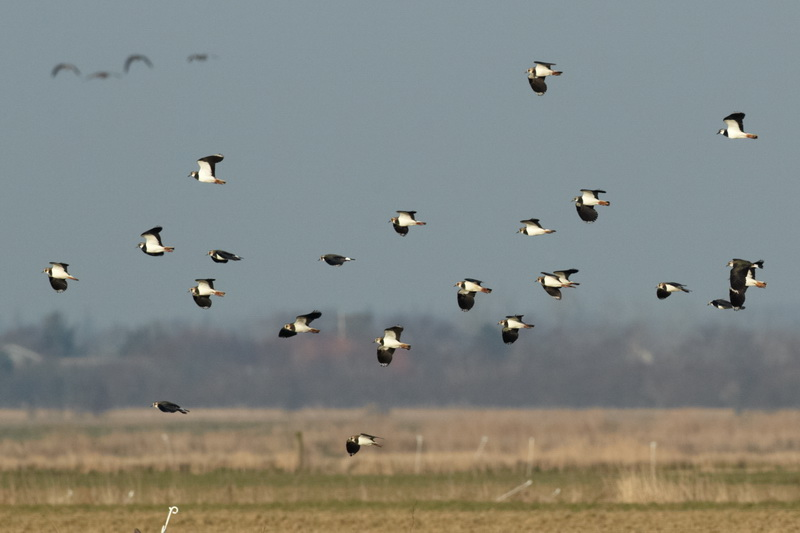Northern Lapwing / Vibe, CR6F3962, 06-03-2014.jpg