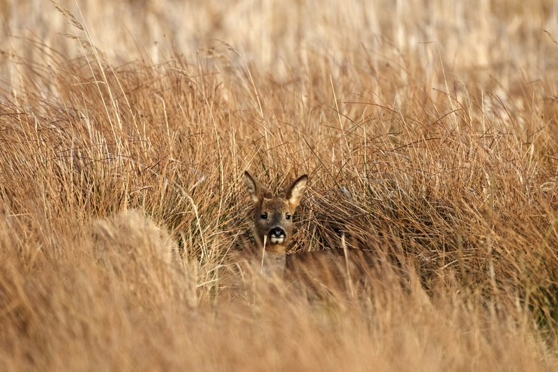 Roe deer / Rådyr, CR6F6027, 20-03-2014.jpg