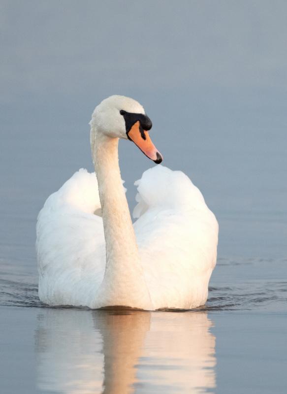 Mute Swan / Knopsvane, CR6F6519, 29-03-2014.jpg