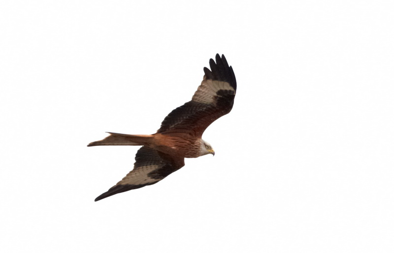 Red Kite / Rød Glente, CR6F7315, 21-04-2014.jpg