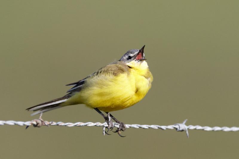 Yellow Wagtail / Gul vipstjert, CR6F8036, 02-05-2014.jpg