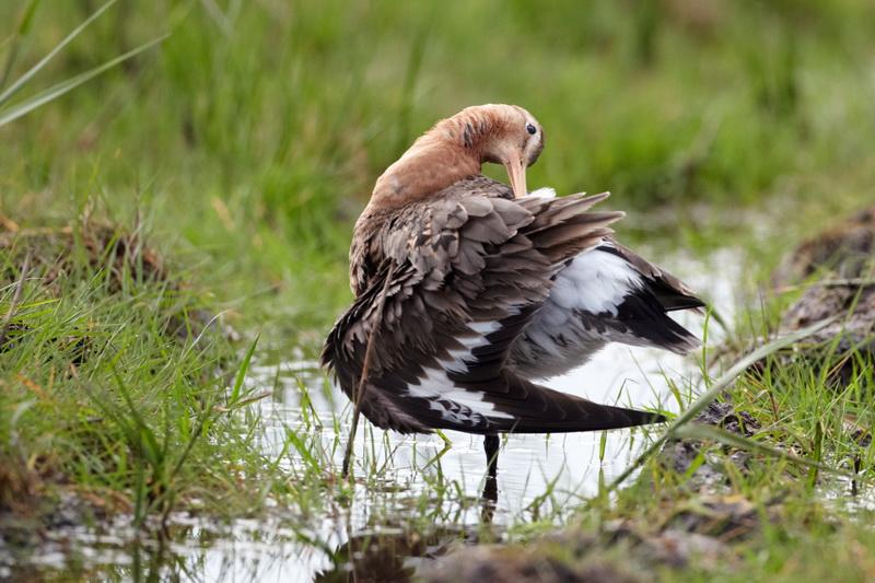 Black tailed Godwit / Stor kobbersneppe, CR6F8675, 16-05-2014.jpg