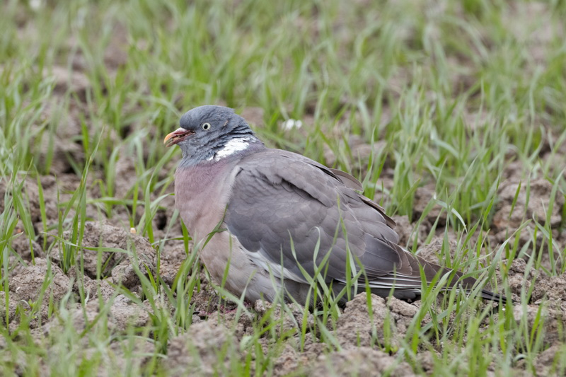 Common Wood Pigeon / Ringdue, CR6F8393, 16-05-2014.jpg