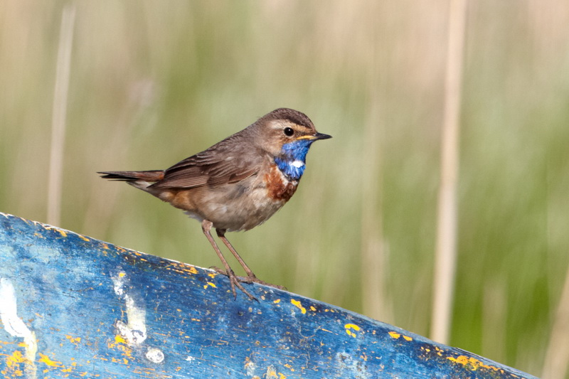 Bluethroat / Blåhals, CR6F9461, 24-05-2014.jpg