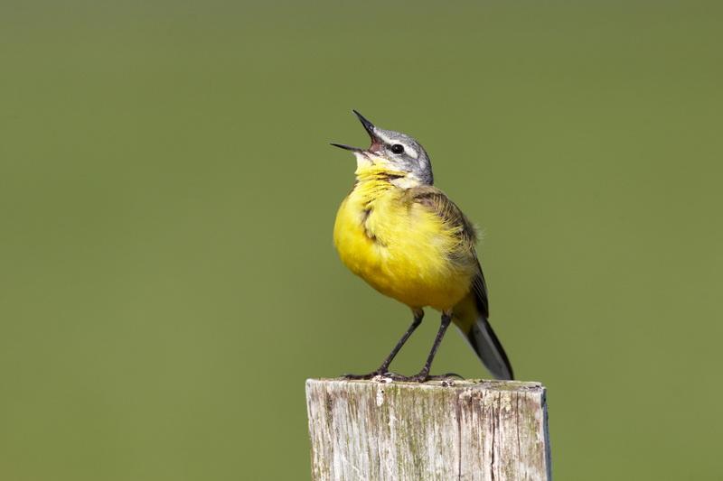 Yellow Wagtail / Gul vipstjert, CR6F8942, 24-05-2014.jpg