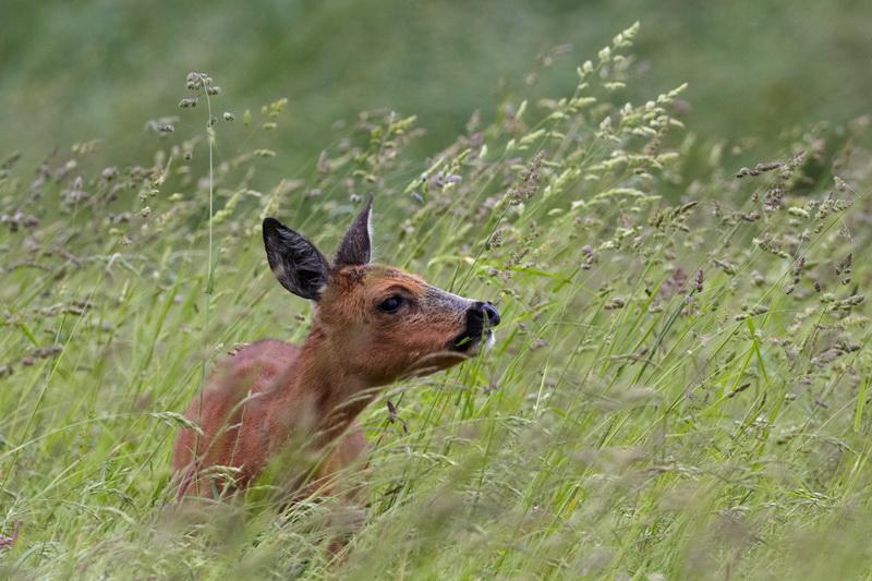Roe deer / Rådyr, CR6F9907, 06-06-2014.jpg