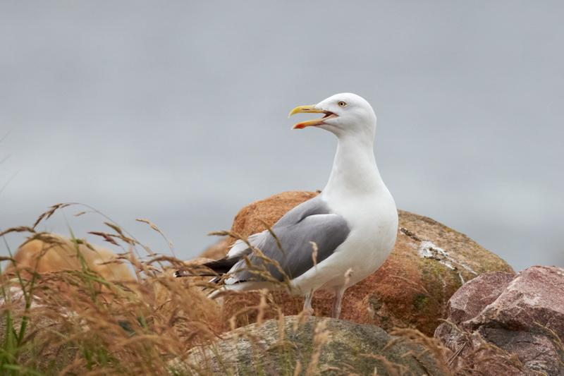 Herring Gull / Sølvmåge, CR6F0194, 20-06-2014.jpg