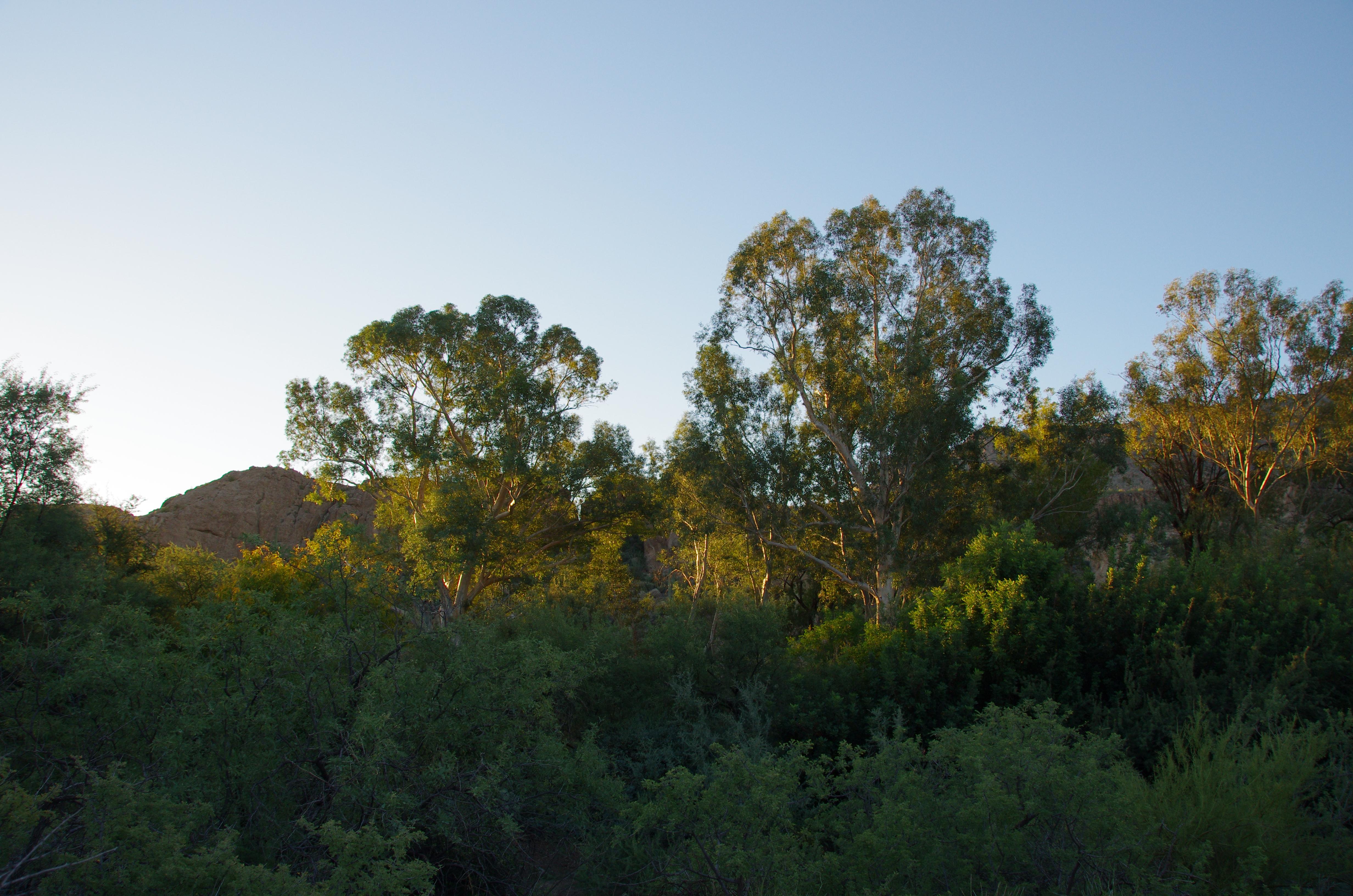 The Eucalyptus Forest