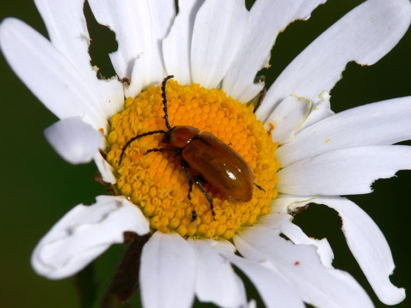 Leaf Beetles (Family Chrysomelidae)