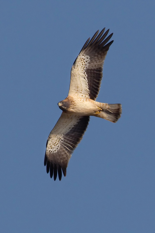 Booted eagle (hieraaetus pennatus), Dadia, Greece, September 2008
