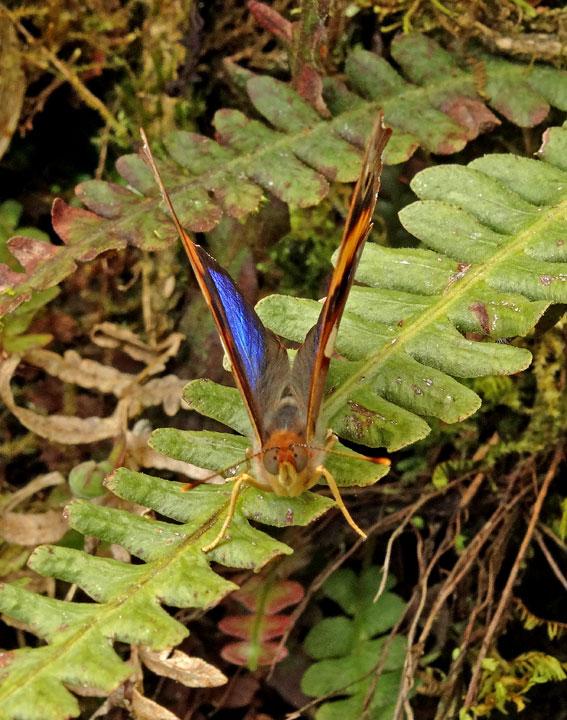 Butterfly Chincapintza