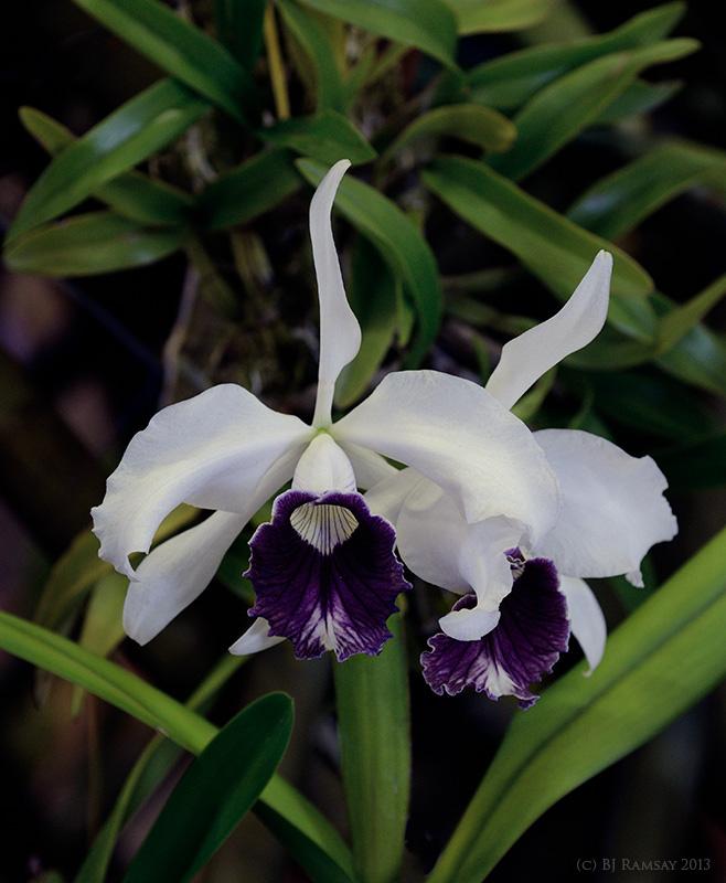 C. purpurata