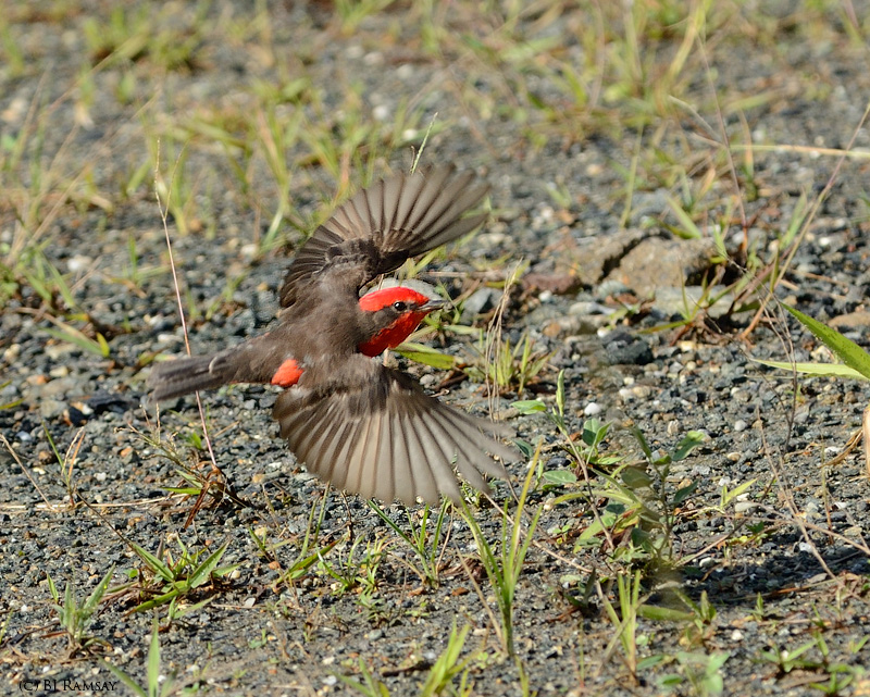 Vermillion Flycatcher Inflight