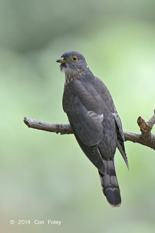 Cuckoo, Hodgsons Hawk (juvenile) @ Bidadari