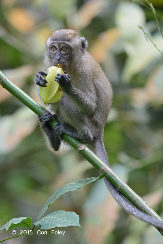 Macaque, Long-tailed @ Venus Drive