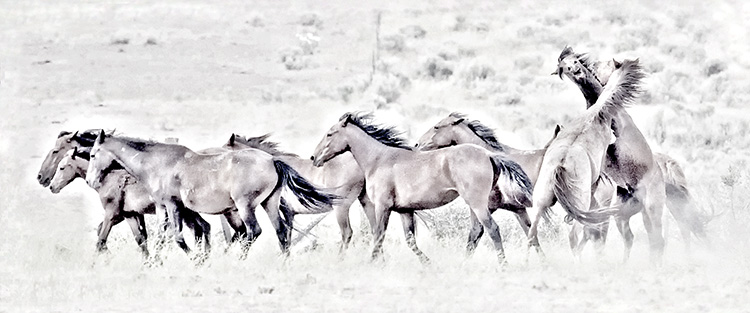 Stallions Fight for the Mares