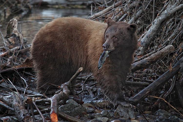 Local Bears Go Fishing