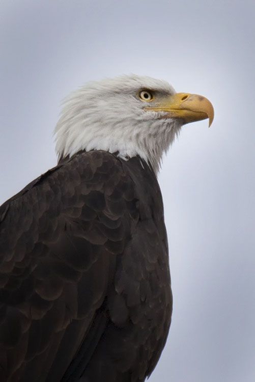 Bald Eagle... at last.