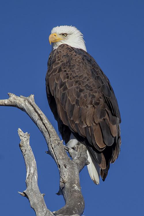 Chasing Bald Eagles