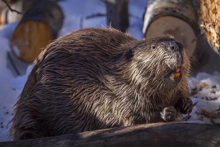 Beaver Time