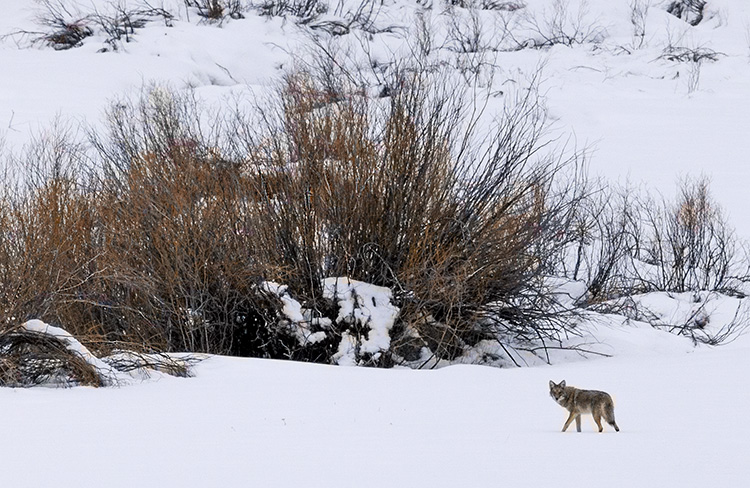 Coyote on the Hunt for a Meal
