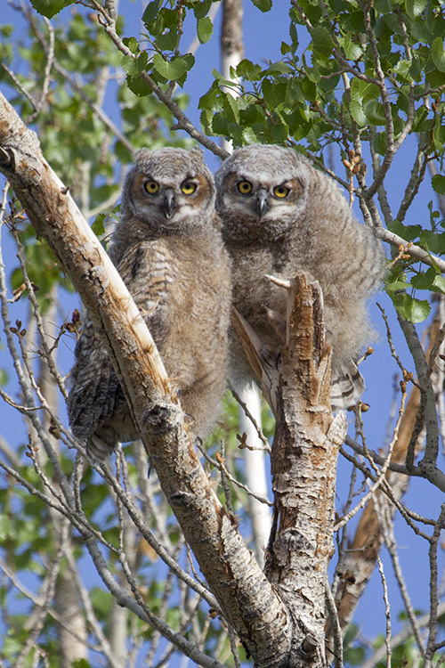 Owlets Venture out of the Nest