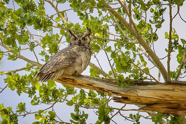 Mrs Owl