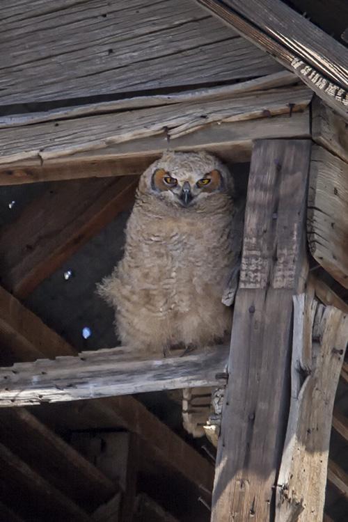 Owlet in a Barn Cupola.