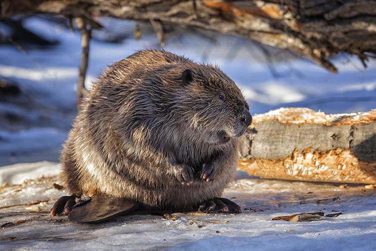 Leary Beaver
