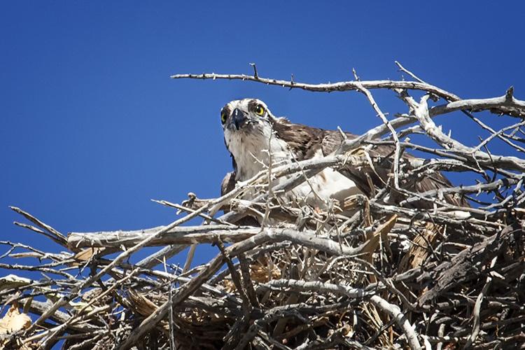 Mom Osprey...