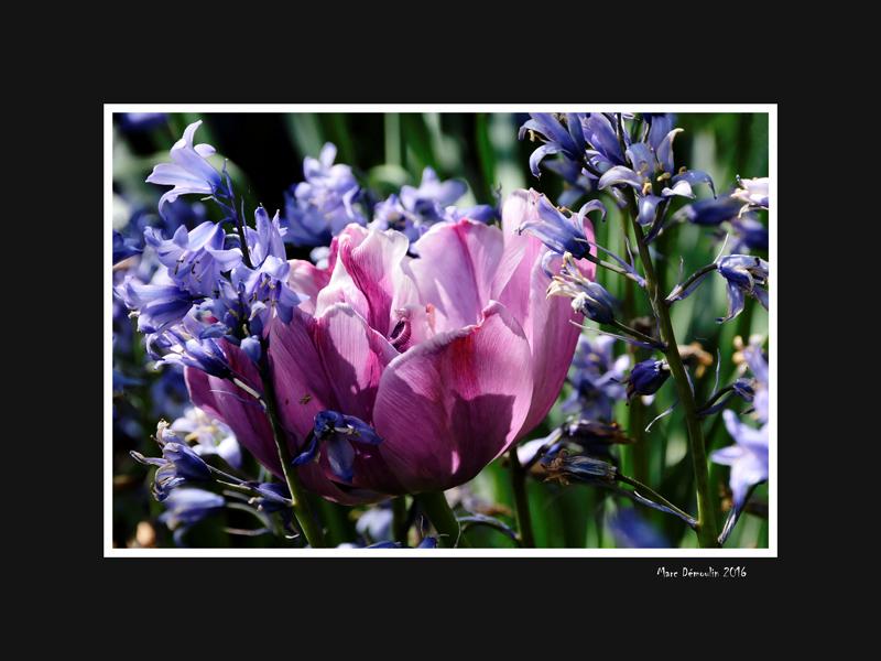 Purple tulip among hyacinths