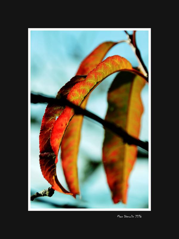 Peach tree leaf in Autumn