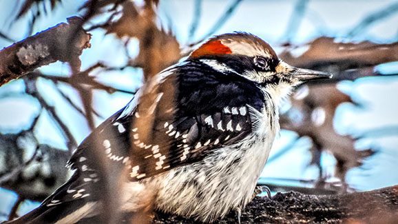 Hairy Woodpecker 20141205