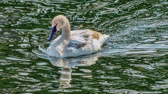Swimming Swan DSCF0563-2