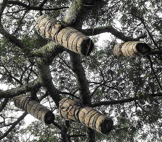 Traditional beekeeping in  trees. Ethiopia.
