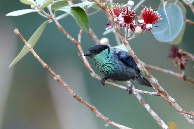 Black-capped-Tanager.jpg