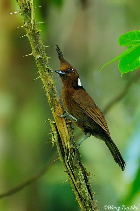 <i>(Platylophus galericulatus lemprieri)</i><br /> Crested Jay