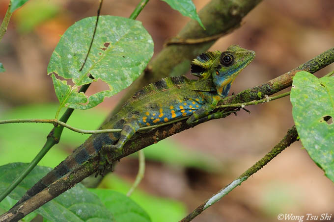 <i>(Gonocephalus grandis)</i><br /> Giant Angle-headed Lizard