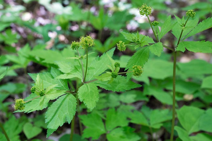 Canadian Black Snakeroot