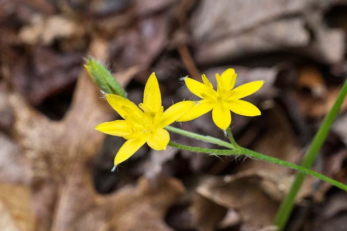 Yellow Stargrass 2