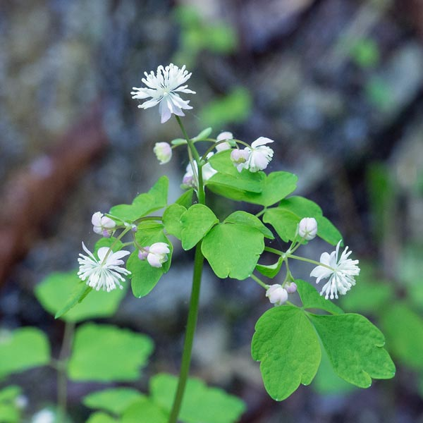 Mountain Meadow-rue