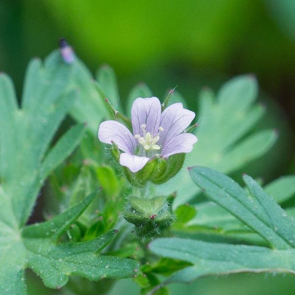 Carolina Geranium 2