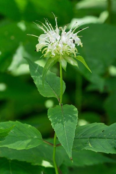 White Bergamot 1