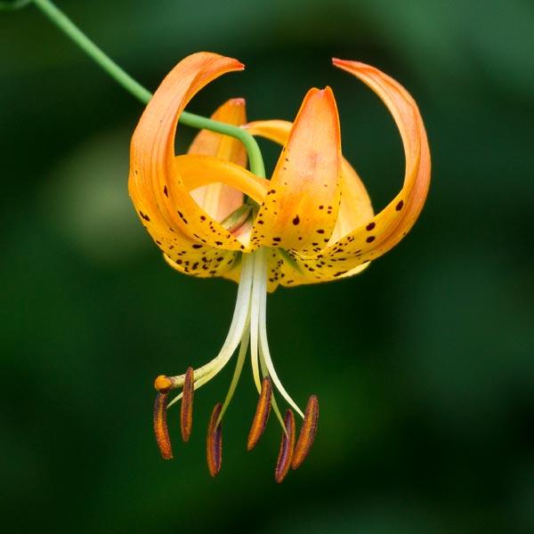 Turks Cap Lily 4