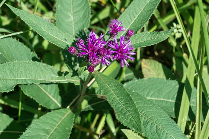 Ironweed 1