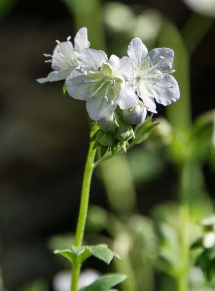 Smallflower Phacelia 2