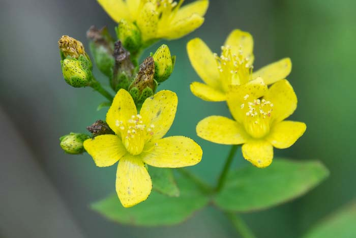 Spotted St Johnswort