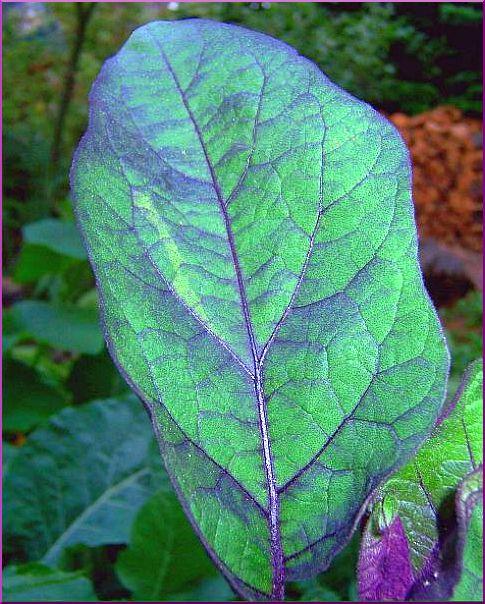 Eggplant Leaf at Dusk