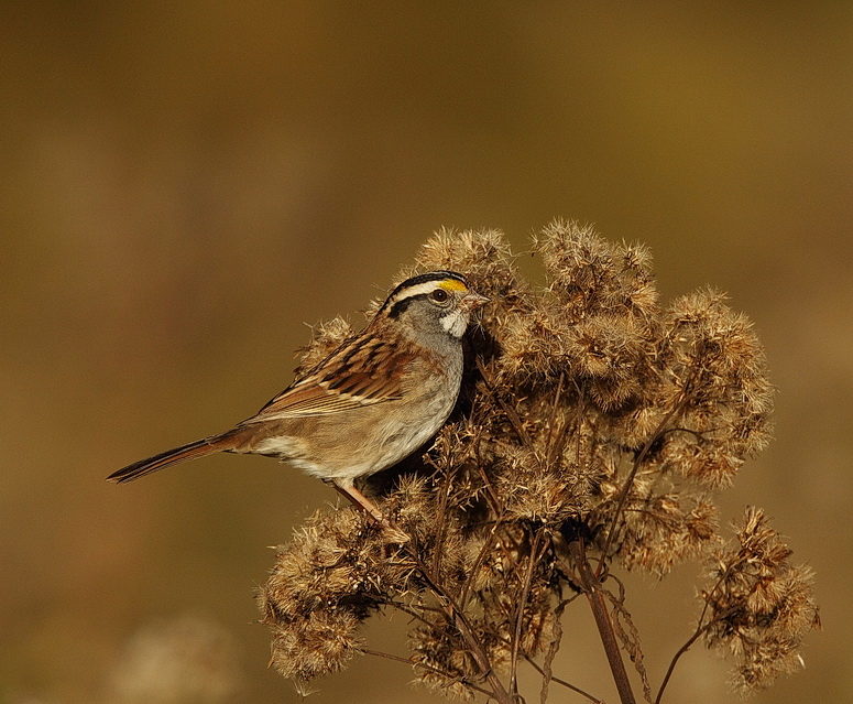 white-throated sparrow  --  bruant a gorge blanche
